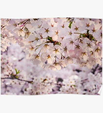 Aomori Sakura Poster