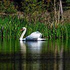 The Swan by imagetj