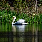 The Swan by TJ Baccari Photography