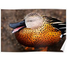 Red Shoveler Duck Poster