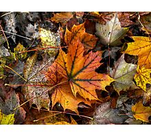 A Leaf Among Leaves ~ Leaves Fall Colors ~ Photographic Print