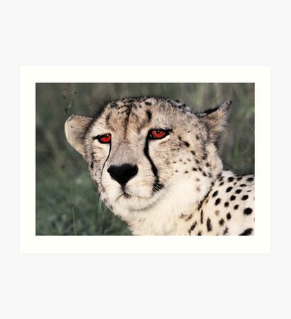 A cheetah at Londolozi Art Print