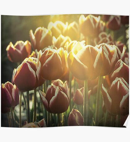 Red tulips in early morning - faded Poster