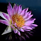Pink Water Lily by cclaude
