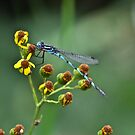Dragonfly by Ian Berry