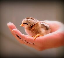 Life Is Fragile - Day Old Chick - NZ by AndreaEL