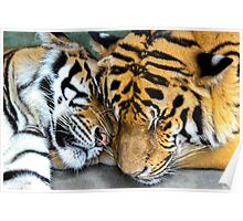 Cuddly Tigers Poster