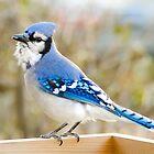 Blue Jay by Jim  Hughes