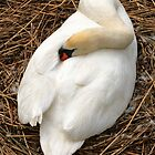 Nesting Swan by Jim  Hughes
