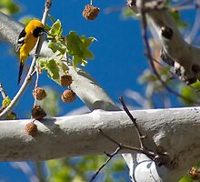 Extremely Yellow Hooded Oriole by randymir
