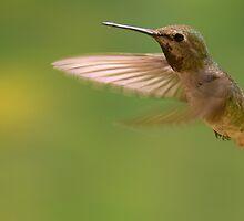 Hummingbird by randymir