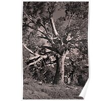 Big Old Eucalyptus Tree By Lorraine McCarthy Poster