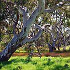 Strong Oz Eucalyptus Tree By Lorraine McCarthy by Lozzar Landscape
