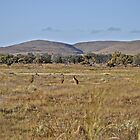 Kangaroos on the plains by Ian Berry
