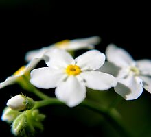 White Forget-me-nots by Kathleen Daley