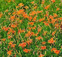 Wild Orange Daylily by Kathleen Daley