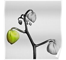 Orchid Buds Poster