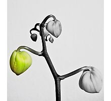 Orchid Buds Photographic Print