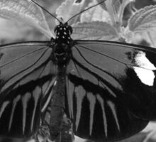 Butterfly in Black and White Sticker
