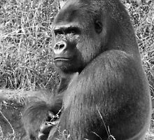 "A gorilla In the following Black and White ""Silver Back""  who is the star of the day .... by okaio caillaud olivier"