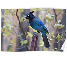Steller's Jay in my backyard Poster