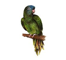 Watercolor Blue-Crowned Conure Parakeet Photographic Print