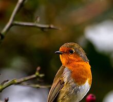 Robin red breast by Violaman