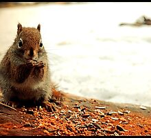Red Squirrel in Winter by BrasdOrLife
