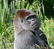 """A gorilla """"Silver Back"""" (10 c) (h) who is the star of the day .... by okaio caillaud olivier"""