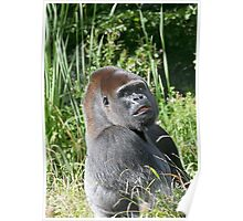 "A gorilla ""Silver Back"" (10 c) (h) who is the star of the day .... Poster"