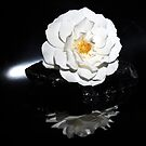 White rose on black. by CanyonWind