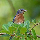 Blue Bird by imagetj