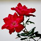 Color Me Red Flowers by Cynthia48