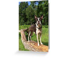 Portrait of Meryl the Boston Terrier Greeting Card