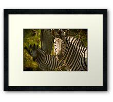 2 Zebras 1 Giraffe Framed Print