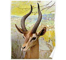 Gerenuk, East Africa Poster