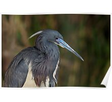 Tri-colored Heron with breeding plumage Poster