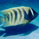 Six-banded Angelfish by Erik Schlogl