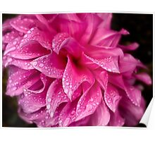 Pink dahlia in the rain Poster