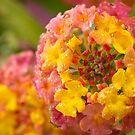 Lantana Blossom by Lynn Gedeon