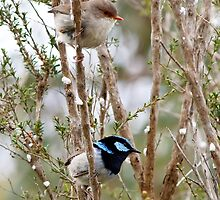Superb Blue Wren, male and female - Malurus cyaneus by Paul Piko