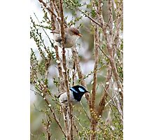 Superb Blue Wren, male and female - Malurus cyaneus Photographic Print