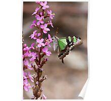 Trigger plant (Stylidium graminifolium) and Macleay's Swallowtail (Graphium macleayanus) Poster