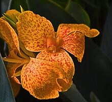 Orange Canna Lily by cclaude