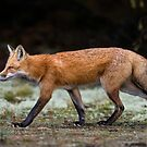 Fox trot  by Daniel  Parent