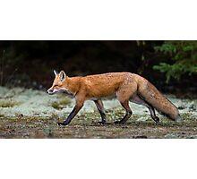 Fox trot  Photographic Print