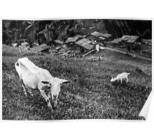 Swiss Goats- Gimmelwald, Switzerland Poster