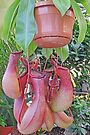 Pitcher Plant by Graeme  Hyde
