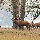 Red Deer Stag by Ashley Beolens