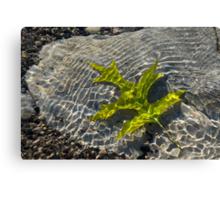 Green Sunshine - a Jade Colored Oak Leaf on the Rocks Canvas Print